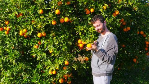 Gatherer picking orange from branch of tree Footage