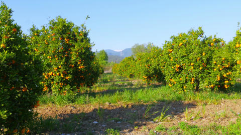 orange fruit at branch of tree, spring season, sunny day Footage