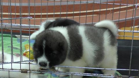 Puppy Caucasian Shepherd Footage