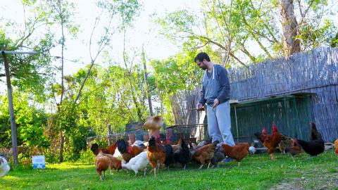 Caucasian farmer man feeding chicken, chick eating food bait Footage