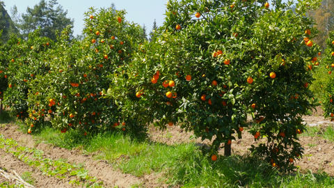 orange fruit at branch of tree, spring season, sunny day Live Action