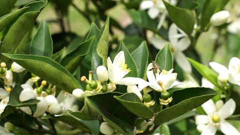 Citrus Tree Flowers Pollination Closeup Handheld Footage