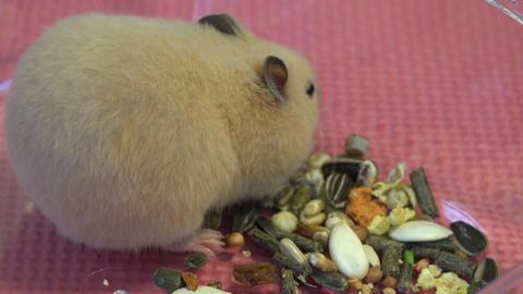 4K Golden KINKUMA Hamster ハムスターコレクション