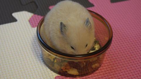 4K Golden KINKUMA Hamster ハムスターコレクション 1