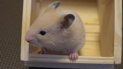 4K Golden KINKUMA Hamster ハムスターコレクション 2