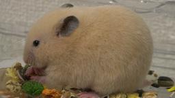 4K eat the bait GOLDEN HAMSTER / エサを食べるゴールデンハムスタ ライブ動画