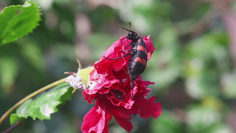 African Blister beetle Footage
