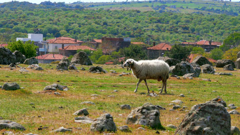 sheep grazing in village on green grass, assos, canakkale, turkey Footage