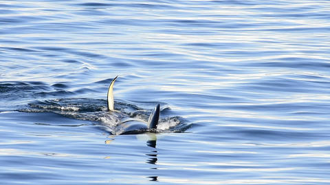 Orca, Killer Whale Live Action
