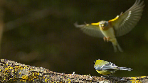 Great Tit, parus major, Male in Taking of with Food in its Beak, Brambling Landing, fringilla Live Action