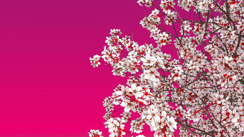 Blooming sakura cherry tree on pink background Animation