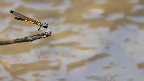 dragonfly grab on tiny wooden stick by river, moving wings Live Action