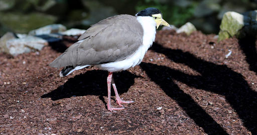 Masked Lapwing Close Up View Footage