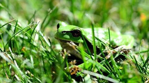 Green European Tree Frog GIF