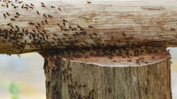 Close-up termites parade on wood Live Action