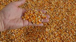 Hands Holding Corn Kernels Footage