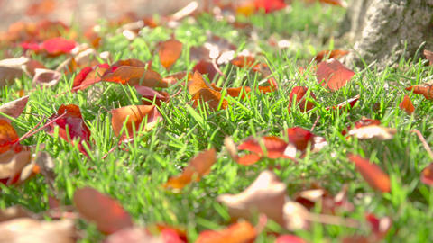 Autumn Leaves in Grass Footage