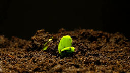 The growth of young green plants time lapse isolated Footage