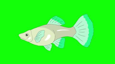 Big Green Guppy Aquarium Fish Chroma Key looped Animation