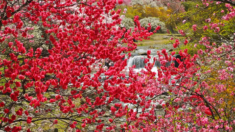 Flowering peach trees with rapid flow of a mountain river in the background ライブ動画