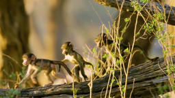 Three Little Baboon Monkeys Playing on the tree 2 Footage