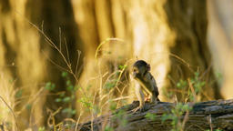 Little Baboon Monkey Playing on the tree With Father Footage