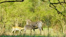 Little Zebra Drinks Mother's Milk Against the Passing Antelope Footage