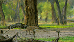 The Predator of Hyena Strolled through the Forest in the Search for Profit Footage