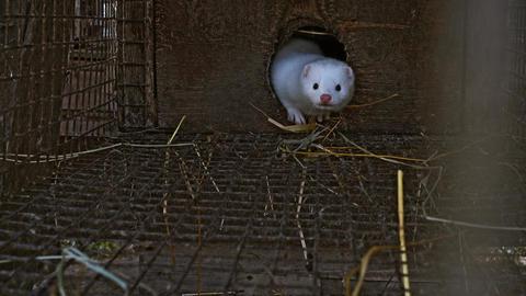 White curious mink Live Action
