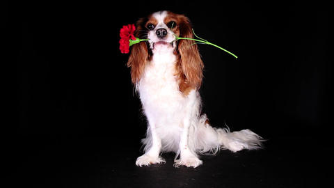 Valentines spring love mothers womens day flower dog 영상물