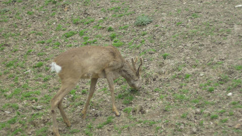 Baby Deer Grazing Footage