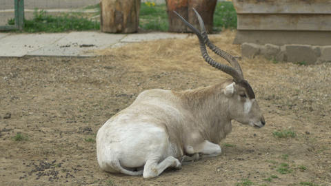Kob Antelope Footage