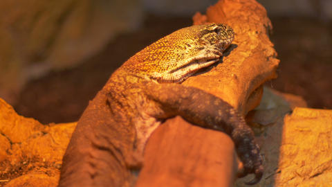 Komodo Dragon Reptile Footage