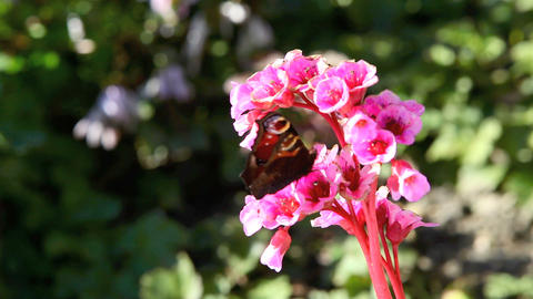Butterfly on a pink flower in spring Footage