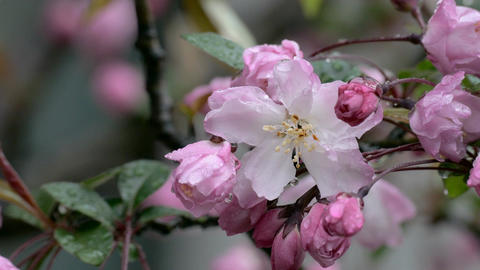 Raindrops and breeze on blooming pink Malus Haliana flowers ビデオ