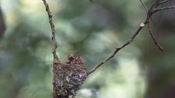 Newborn hungry baby birds in nest Footage