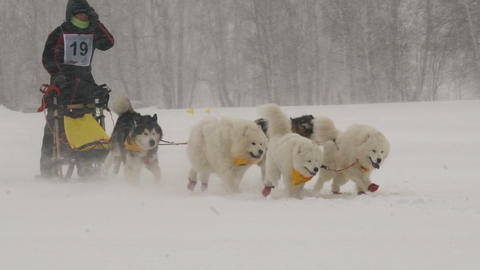Husky dog team with rider participates in the race 영상물