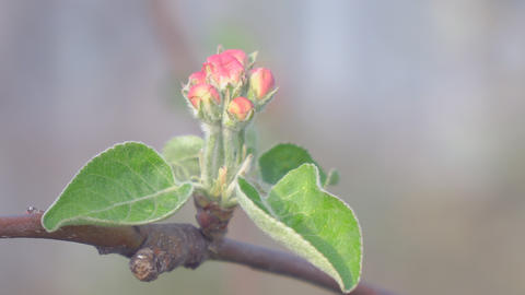 The unopened Bud of apple blossoms closeup Footage