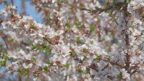 Branches of cherry blossoms in the garden Footage