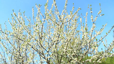 Blossoming tree of plum on background of blue sky. Branches of blossoming plum Footage