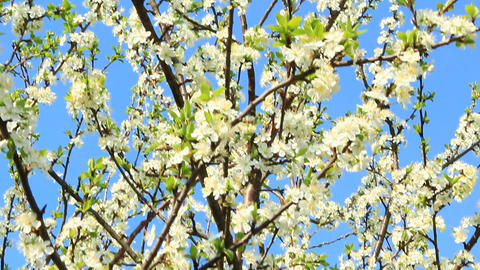 Blooming plum tree. Plum tree branches covered with white flowers and foliage on Footage