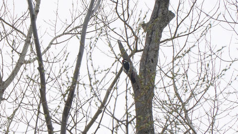 Woodpecker on the trunk of a dry tree Footage