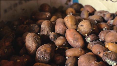 Rotten potatoes in a cardboard box 영상물