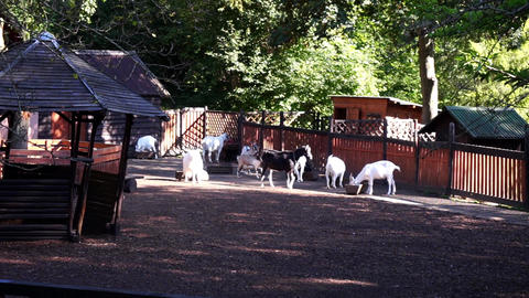Goats Grazing On A Farm 003 GIF