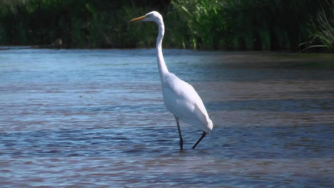 Great egret or Ardea alba hunts in shallow river. Beautiful and elegant bird Footage