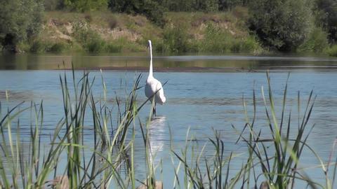 Predatory bird White heron Ardea alba hunts in shallow river. Great egret Footage
