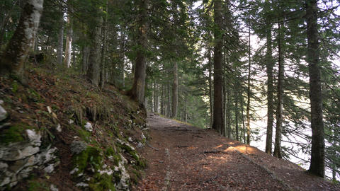 Morning walk in the spruce forest. Autumn in the mountains Footage