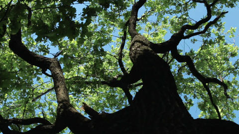 Look up at the crown of an oak tree on a sunny and windy day Footage