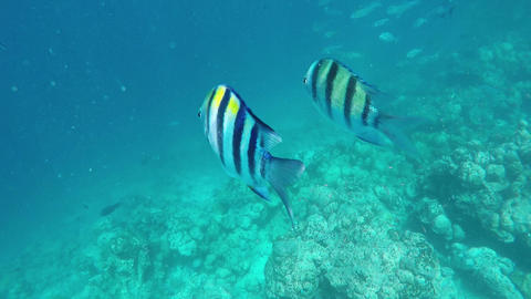 Fishes and Colorful Corals at the Beautiful Tropical Island of Maldives Footage