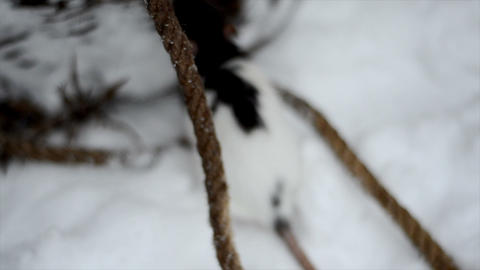 handy rat runs through the snow Footage